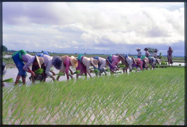 Rice-planting by hand (photo: Dr. Mitsunori Oka)
